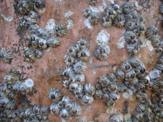 barnacles III